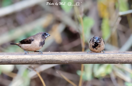 Black-throated Munia is a resident in foothills of Southwest India