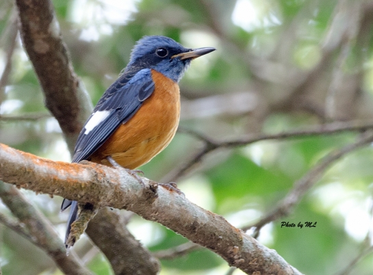 blue capped rock thrush at Munnar