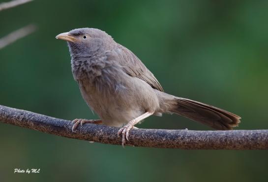 jungle babbler in South India are plentiful
