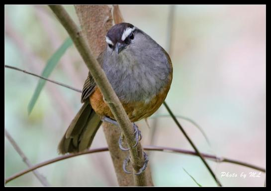 kerala laughing thrush on high altitude region in Munnar