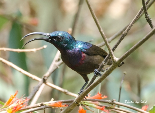 The male Loten's Sunbird is more obliging!