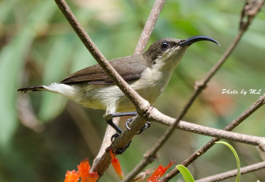 Female Loten's sunbird at Salim Ali Sanctuary