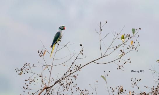 Malabar parakeet, endemic to South India