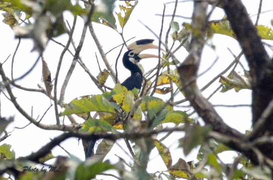 Malabar pied hornbill, near threatened species