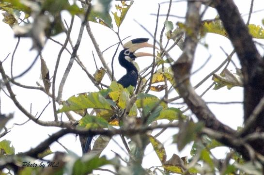 Malabar pied hornbill, near threatened species