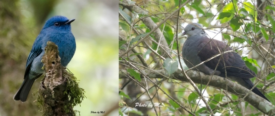 Nilgiri flycatcher and Nilgiri wood pigeon at Munnar