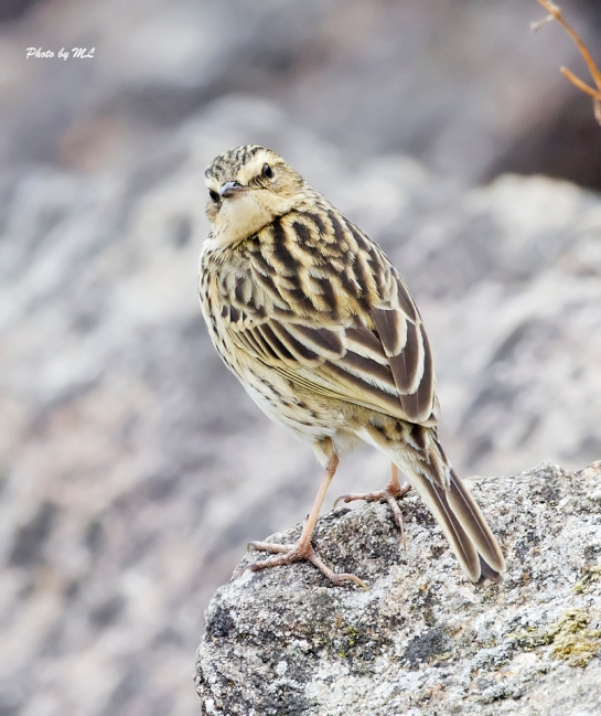 nilgiri pipit can be found in Munnar