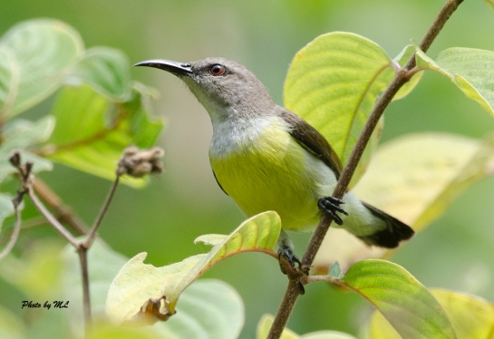 purple-rumped sunbird-female in India