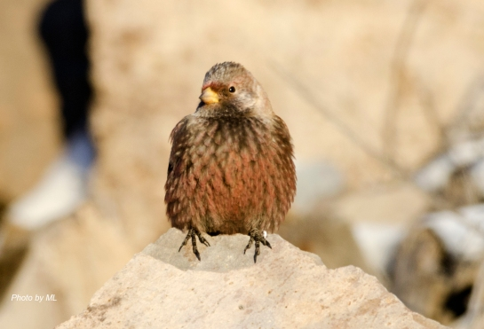 asian rosy-finch at Inner Mongolia