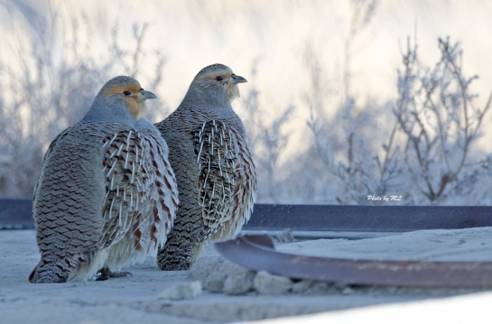 Daurian partridges are common at Inner Mongolia