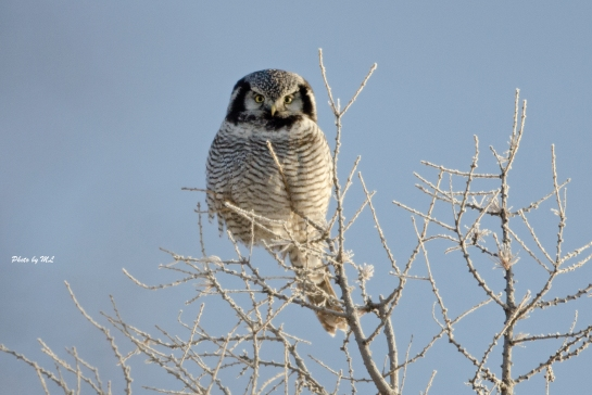 hawk owl winters in Wuerqihan