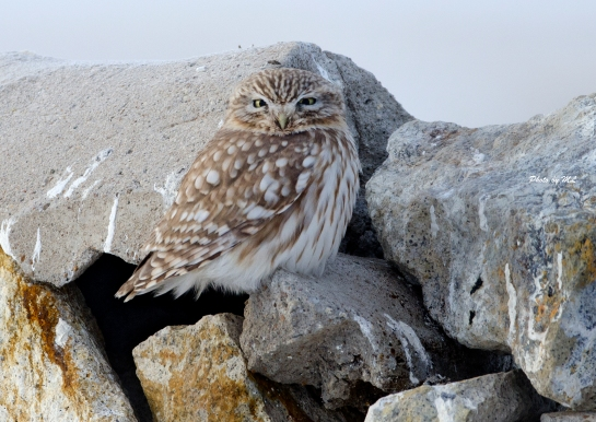 Little Owl at Xiqi, Inner Mongolia
