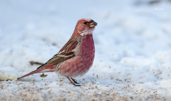 pallas's rosefinch!