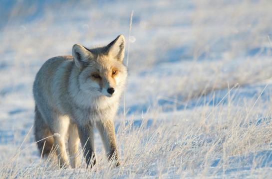 red fox is common in Inner Mongolia