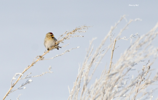 Lots of common Redpolls along the road