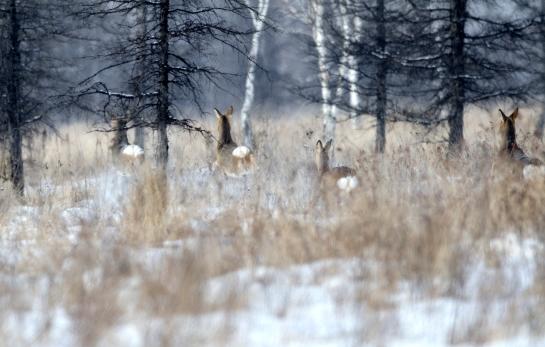 Bouncing Siberian roe deers