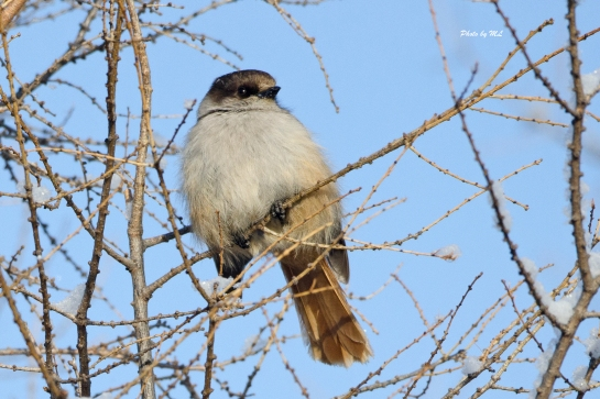 siberian jay, a highlight in Wuerqihan, Inner Mongolia