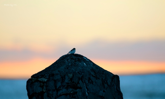 snow bunting in sunset