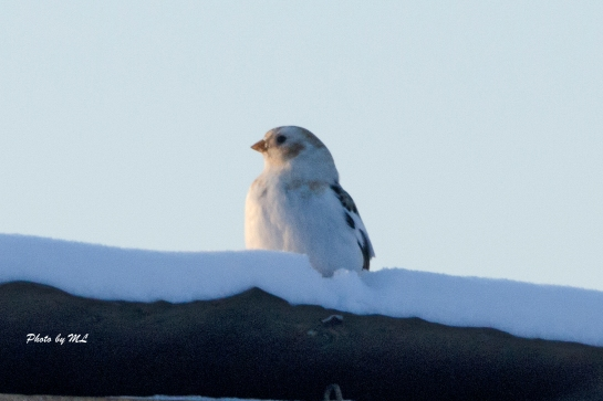 snow bunting at Wuerqihan