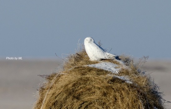 Snowy Owl at Grassland of Inner Mongolia
