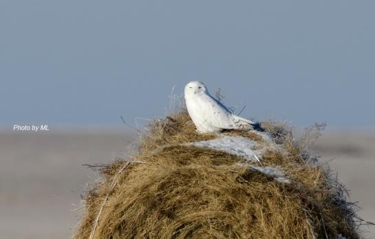 Snowy Owl at Grassland of Inner Mongolia