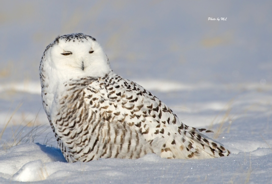 This Juvenile Snowy Owl took little notice of us.