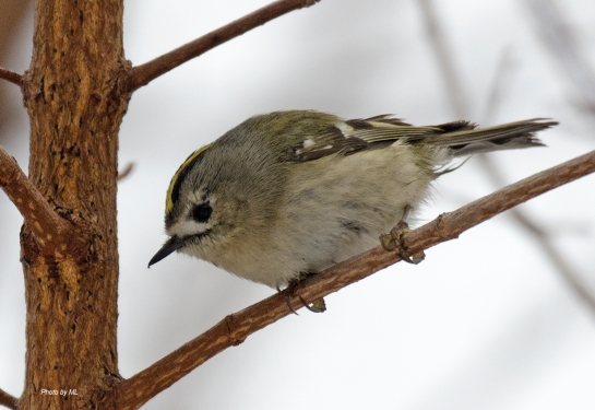 goldcrest at Nanhaizi park