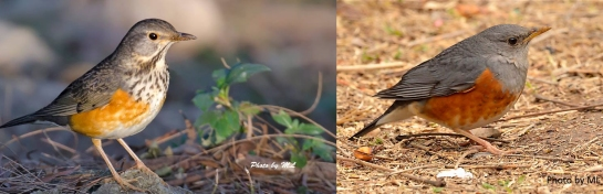 grey-backed thrushes seen along the slopes at BBQ area