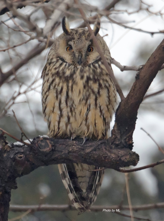 long-eared owl in Beijing