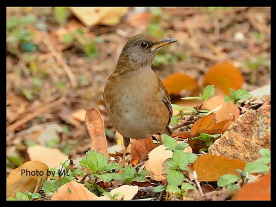 pale thrush at Tai Tong