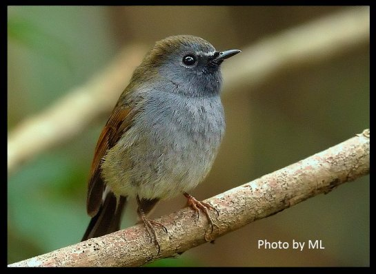 rufous-gorgeted flycatcher- an early spring passage bird in HK