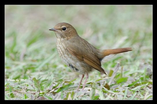 rufous tailed robin seen uphill away from BBQ area
