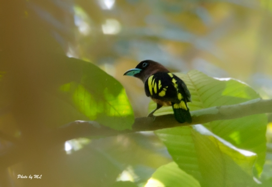 black and yellow broadbill in Panti