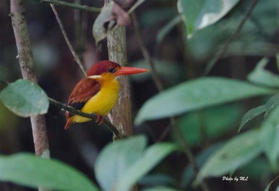 black backed kingfisher at Panti