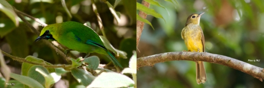 hairy-backed bulbul and blue-winged leafbird found in birdwave