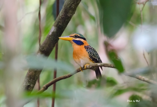 Prized find of the rufous collared kingfisher