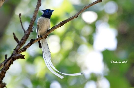 asian paradise flycatcher white morph