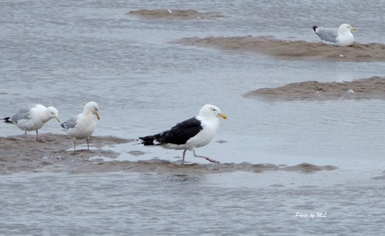Greater Black backed gull in Titchwell Nature Reserve