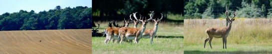 From left- Chinese deer, Fallow deer, Red deer