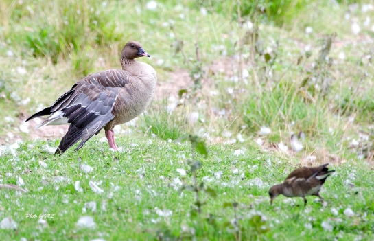 pink footed goose in Holkam Park
