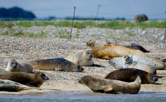 lazy seals at blakeney point