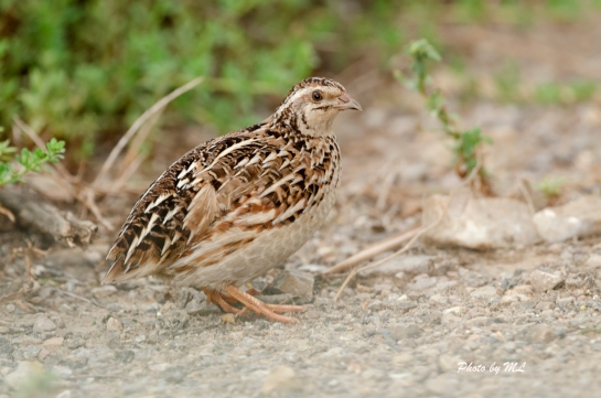 japanese quail at nanpu