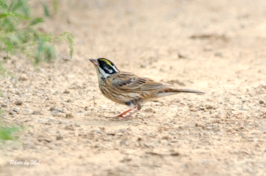 yellow-browed bunting along the trail