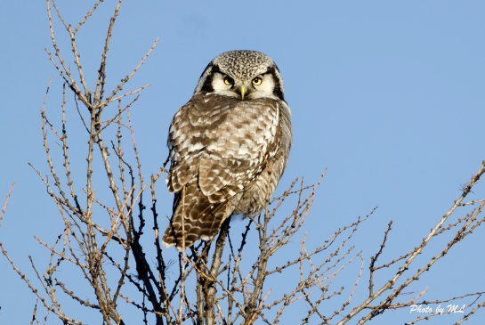 Hawk owl is very common in Wuerqihan