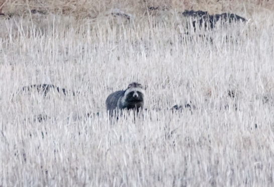 Raccoon dog seen in the fields at Wuerqihan