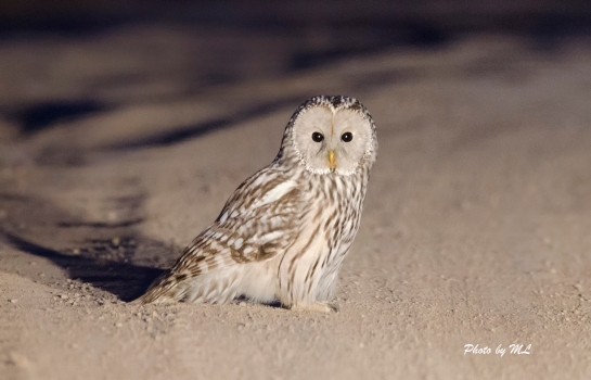 Ural owl on the road