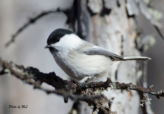 willow tit in Inner Mongolia