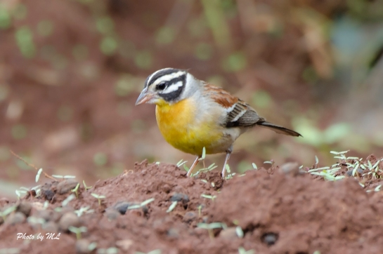african golden breasted bunting