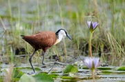 African Jacanas are tame in Uganda