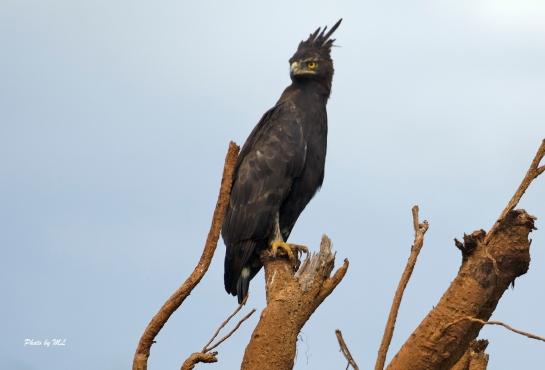 long crest eagle